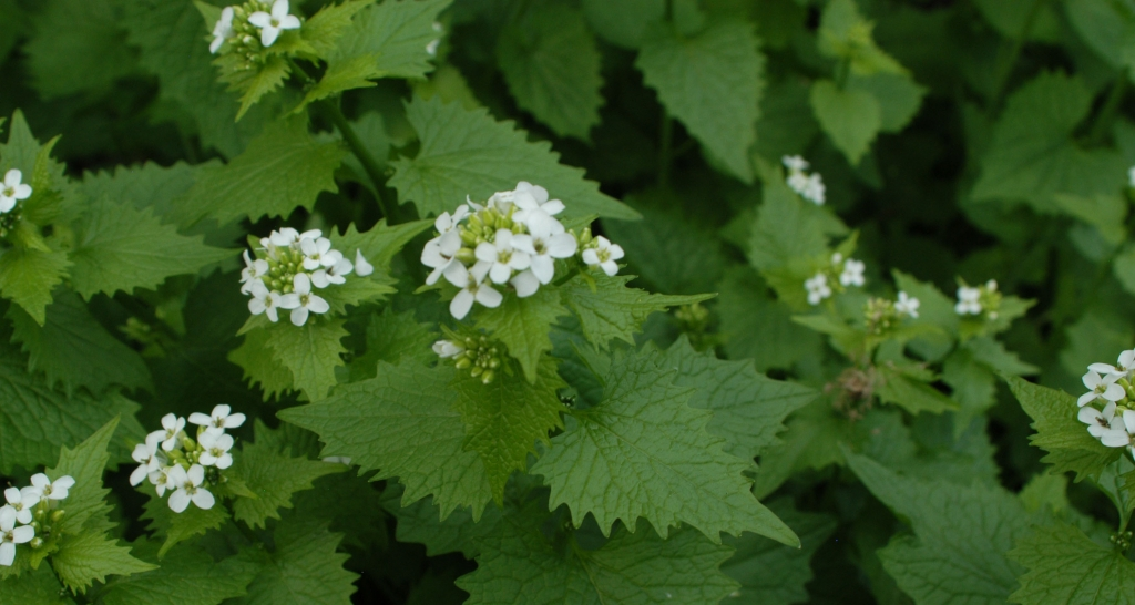 Garlic mustard grows in shaded areas. Each plant produces thousands of seeds.