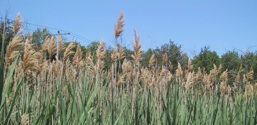 Phragmites, also called common reed