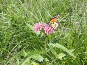 Monarch Butterfly on Butterfly Milkweed