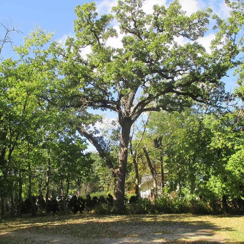 Heritage Oak at 55 Robertson Rd, Lake Zurich IL