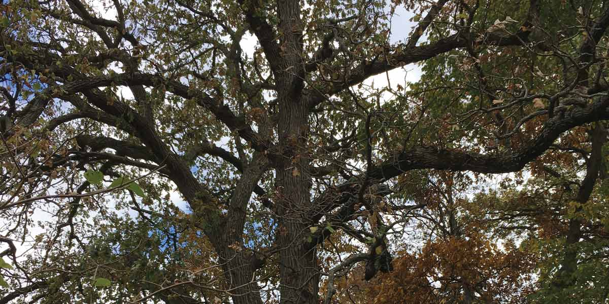 Canopy of Heritage_Oak_at_8_Lagoon_Dr_Hawthorn Woods
